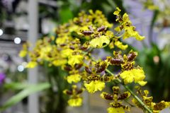 El pequeño amarillo y las orquídeas de Brown florecen con el fondo verde de la hoja de las orquídeas Foto de archivo