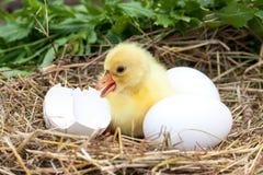 El pequeño ansarón nacional lindo con la cáscara de huevo quebrada y los huevos en paja jerarquizan Fotos de archivo libres de regalías