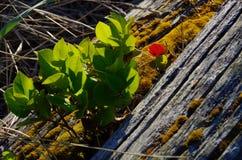 El pequeño arbusto salal retroiluminado crece fuera de un registro viejo de la madera de deriva Imagen de archivo libre de regalías