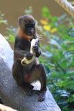 el pequeño babuino está comiendo el plátano imagen de archivo
