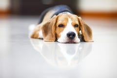 El pequeño beagle es soñoliento Fotos de archivo