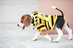 El pequeño beagle está caminando Fotografía de archivo