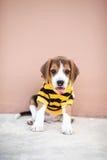 El pequeño beagle se está sentando en el piso concreto Fotos de archivo libres de regalías