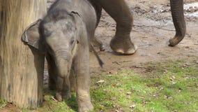 El pequeño bebé del elefante circunda el árbol almacen de metraje de vídeo