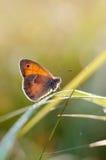 El pequeño brezo, mariposa en el pamph de Coenonympha del hábitat natural Imagen de archivo