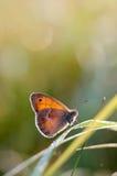 El pequeño brezo, mariposa en el pamph de Coenonympha del hábitat natural Imagen de archivo libre de regalías