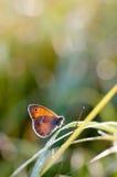 El pequeño brezo, mariposa en el pamph de Coenonympha del hábitat natural Imágenes de archivo libres de regalías