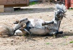 El pequeño caballo, potro, Imagen de archivo libre de regalías