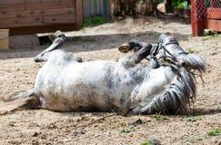 El pequeño caballo, potro, va para un mecanismo impulsor Foto de archivo libre de regalías