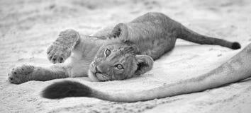 El pequeño cachorro de león coloca para descansar sobre la arena y el juego suaves w de Kalahari foto de archivo libre de regalías