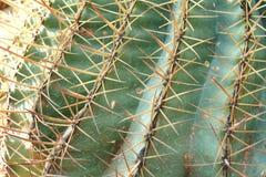 El pequeño cactus planta el detalle del cuerno Fotos de archivo libres de regalías