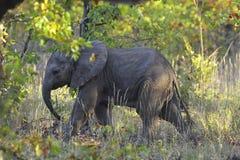 El pequeño caminar del elefante rodeado por los arbustos verdes fotos de archivo