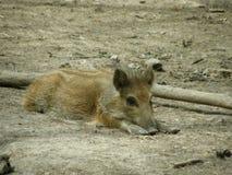 El pequeño cerdo Fotos de archivo