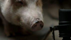 El pequeño cerdo está masticando metrajes