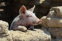 El pequeño cerdo mira hacia fuera la ventana