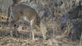 El pequeño ciervo da un paseo a través de la vegetación secada almacen de metraje de vídeo