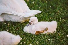 El pequeño cisne blanco del bebé aprende caminar en hierba verde Imágenes de archivo libres de regalías