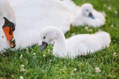 El pequeño cisne blanco del bebé aprende caminar en hierba verde Fotos de archivo