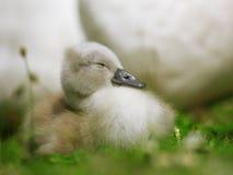 El pequeño cisne lindo se está enfriando   Imagen de archivo libre de regalías
