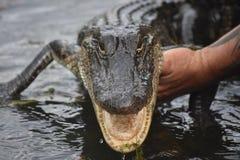 El pequeño cocodrilo con su boca abre ser sostenido por un hombre fotografía de archivo