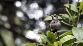El pequeño colibrí saca y los flys lejos del arbusto almacen de video