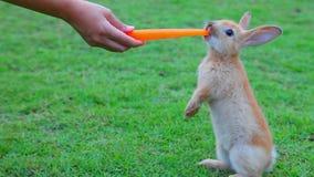 El pequeño conejito joven lindo es zanahoria de alimentación de la mano mientras que se coloca en el campo de hierba de prado almacen de metraje de vídeo
