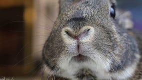El pequeño conejo gris se mueve el primer de la nariz almacen de video
