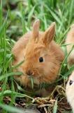 El pequeño conejo rojo se sienta en la hierba y tiene breakfas fotografía de archivo libre de regalías