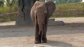 El pequeño elefante que camina en el parque zoológico almacen de metraje de vídeo