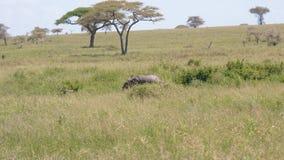 El pequeño elefante solo se ha perdido de multitud o ha perdido en sabana africana salvaje metrajes