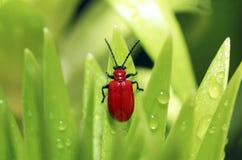 El pequeño escarabajo rojo. Fotografía de archivo