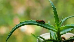 El pequeño explorador Slug se arrastra en una hoja del áloe metrajes