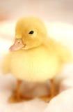El pequeño ganso amarillo agradable en un fondo blanco imagen de archivo libre de regalías