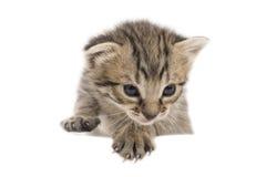 El pequeño gatito aislado en blanco Fotos de archivo