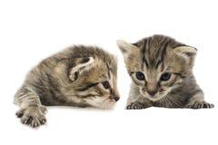 El pequeño gatito aislado en blanco Imagenes de archivo