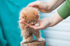 El pequeño gatito anaranjado dulce se sienta en la madera Fotos de archivo libres de regalías