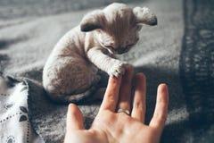 El pequeño gatito de Devon Rex da su pata a un ser humano y quiere jugar Foto de archivo