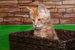 El pequeño gatito del mapache de Maine se está sentando en una cesta de mimbre Fotos de archivo