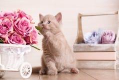 El pequeño gatito escocés juguetón que jugaba con el flofer de subió Foto de archivo libre de regalías