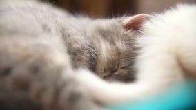 El pequeño gatito gris duerme otro gatito blanco almacen de video