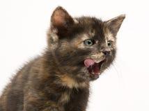 El pequeño gatito se lame Foto de archivo