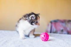 El pequeño gatito tricolor está mirando el juguete edad 3 meses Foto de archivo