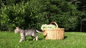 El pequeño gato del gatito salta de cesta de mimbre y camina en prado