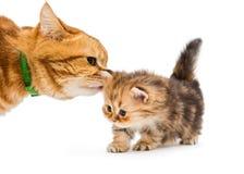 El pequeño gato del gatito y del adulto cría a británicos Imagenes de archivo