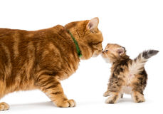 El pequeño gato del gatito y del adulto cría a británicos Imagen de archivo