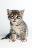 El pequeño gato gris se sienta y mira fijamente con los ojos azules fotografía de archivo
