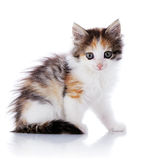 El pequeño gato multicolor se sienta en un fondo blanco. imagen de archivo libre de regalías