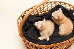 El pequeño gato precioso dos tiene cuidado en cesta de mimbre Foto de archivo libre de regalías