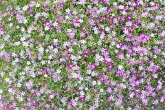 El pequeño gypsophila blanco y rosado precioso hermoso florece el patte Foto de archivo