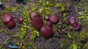El pequeño jellydisc o jalea púrpura fungoso cae, los sarcoides de Ascocoryne, en vieja macro de madera mojada, el foco selectivo Fotos de archivo